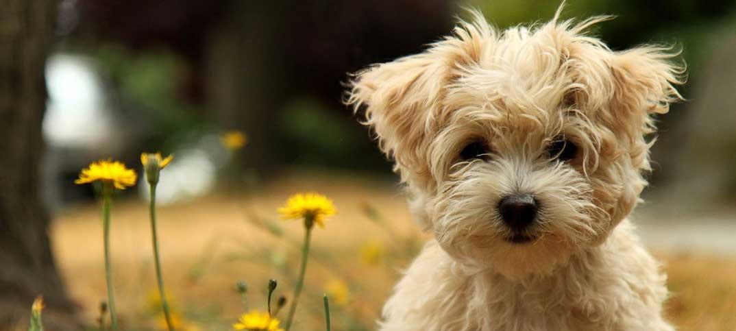 Quizzes - Designer Dog Breeds